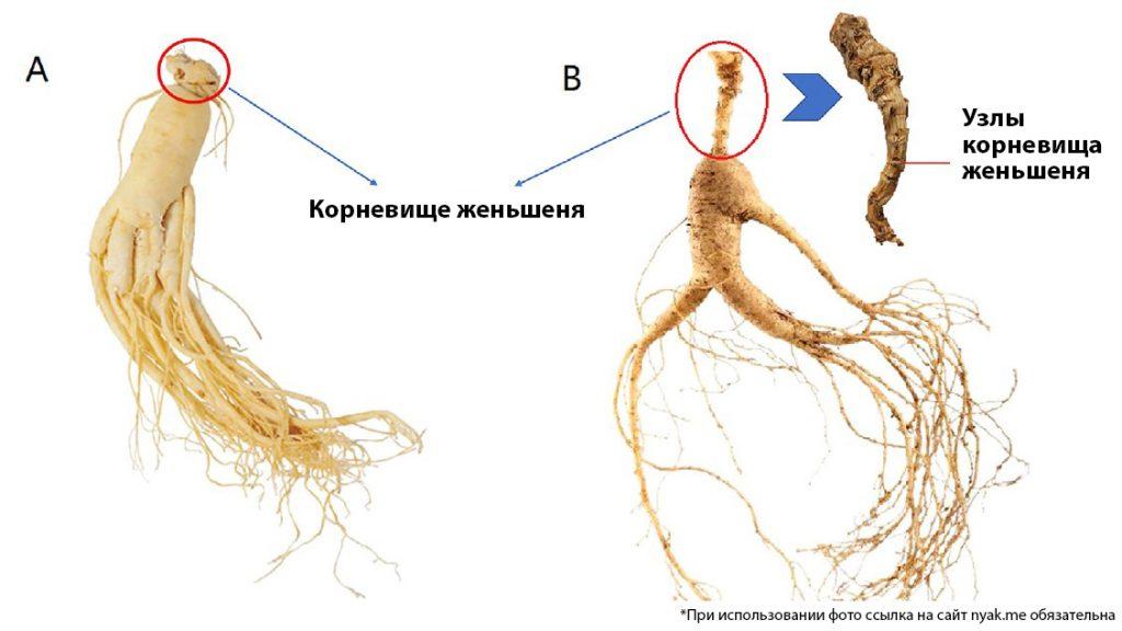 Культивируемый женьшень (А) и горный культивируемый женьшень (В)
