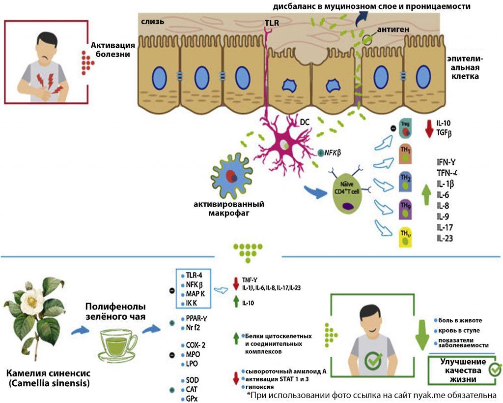 При обострениях ВЗК неадекватная активация иммунной системы приводит к снижению экспрессии Treg-клеток и увеличению экспрессии TH1, TH2, TH9 и TH17, что в свою очередь приводит к усиленному высвобождению IFN-γ, TNF-α и провоспалительных интерлейкинов, таких как IL-1β, IL-6, IL-8, IL-9 и IL-17