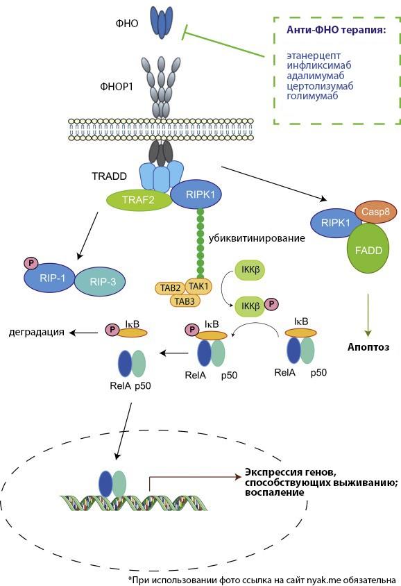 Пути передачи сигналов ФНО-α и одобренные методы лечения