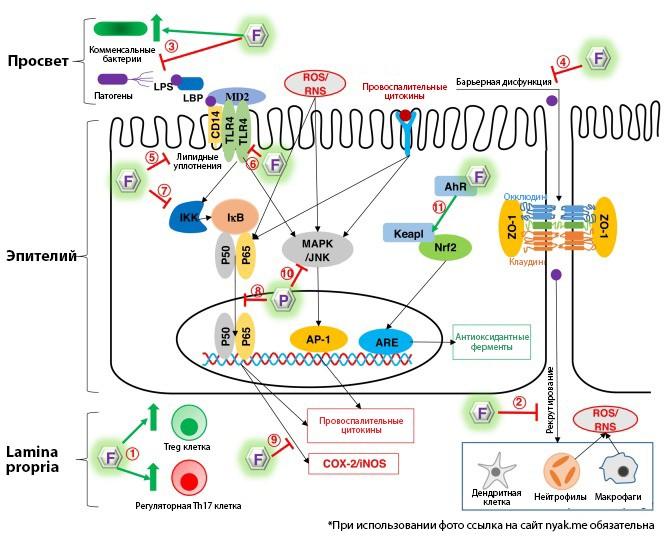Резюме противовоспалительных механизмов действия флавоноидов при воспалении кишечника